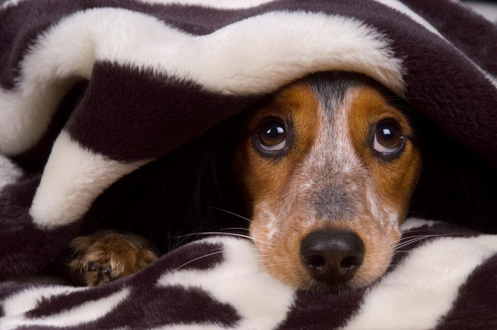 Seu Cachorro Tem Medo De Fogos?
